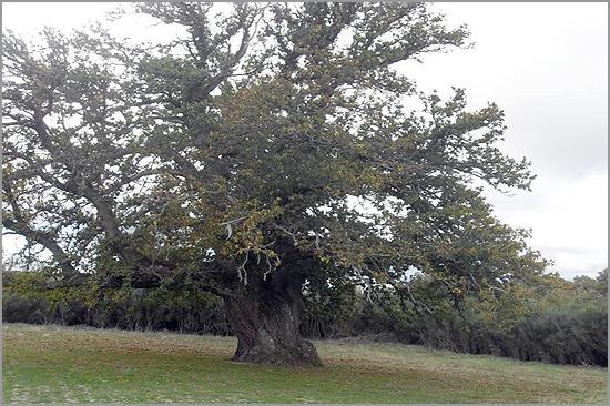 Maior árvore da Guarda -Capeia Arraiana