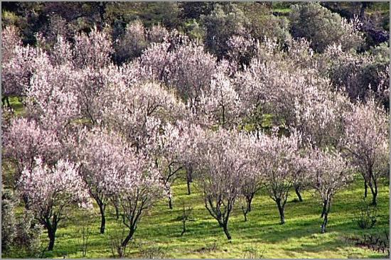 Amendoeiras em Flor - Capeia Arraiana