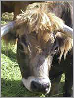 Vaca Jarmelista