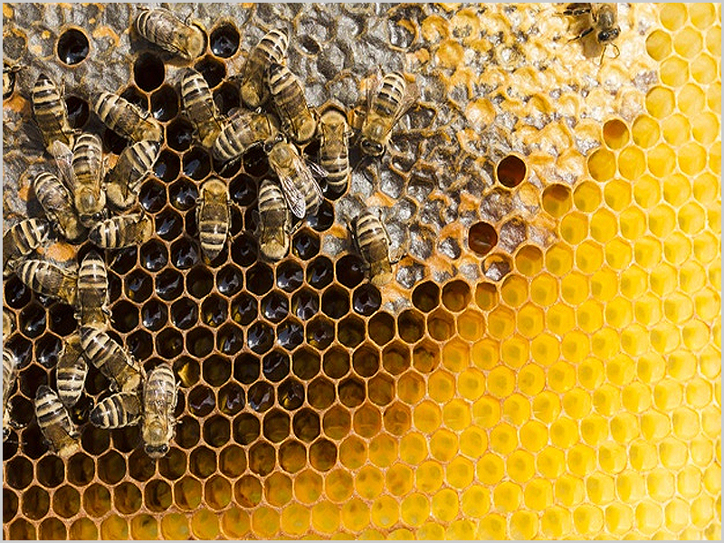 Favo de mel na colmeia das abelhas