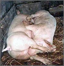 Porcos para cortelho