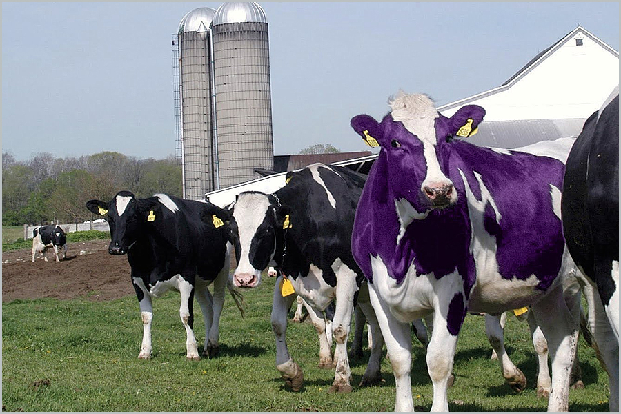 Vaca púrpura