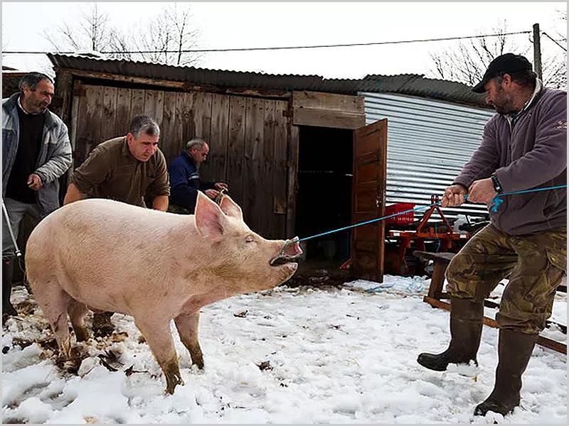 Matança do porco - o início