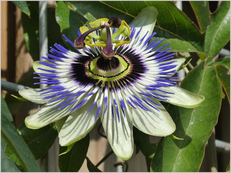 Flor da Paixão - capeiaarraiana.pt