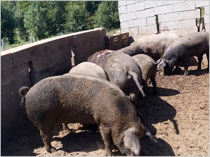 Porcos na pocilga