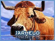 Vaca Jarmelista - Jarmelo - Capeia Arraiana