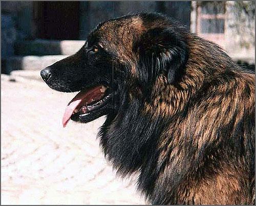 Gingão - um cão Serra da Estrela