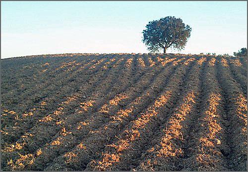 Terra decruada – regos e gomas bem visíveis - máximo contacto com o ar