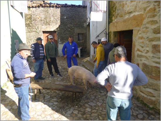 Matança do porco no Ozendo - ARCO - Ozendo - Capeia Arraiana