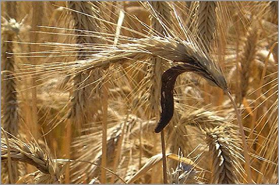 Espiga de trigo com cornatcho - capeia arraiana