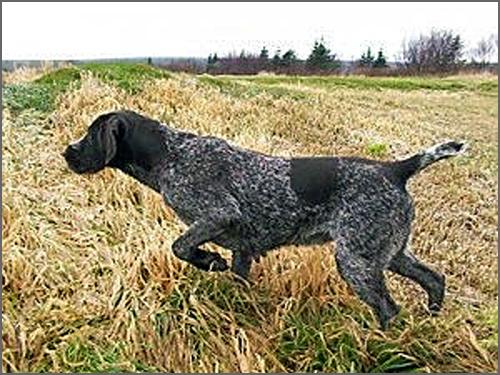 O cão tem sempre um papel na Festa como na caça
