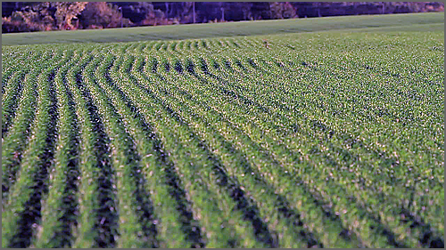 Campo de trigo antes da monda