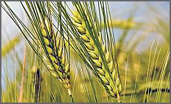 Espigas de trigo (bem diferentes)