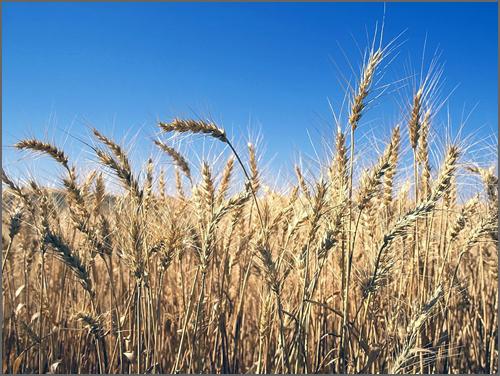 Seara de trigo, pronta para a ceifa