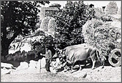 Carro de vacas em trabalho agricola