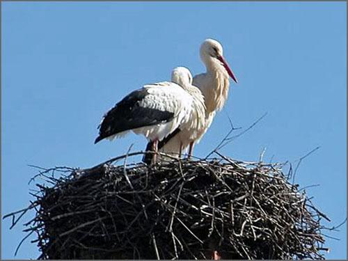 As cegonhas nidificavam na torre