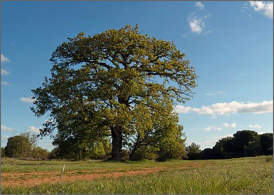 Roble - Árvore gigantesca da família do carvalho-alvarinho