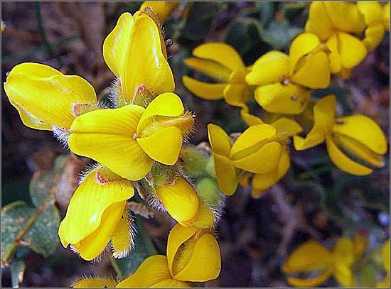 A flor da carqueja