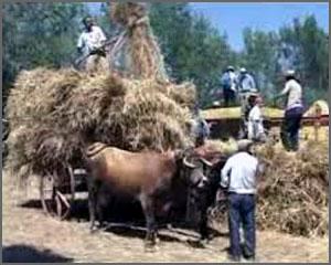 O centeio é transportado em carros de vacas