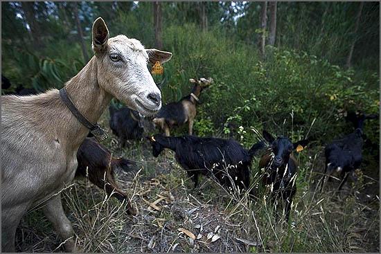 Há cinco anos pretendeu-se usar cabras para prevenir incêndios