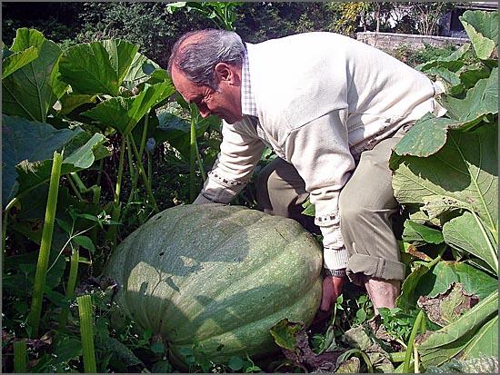 Abóbora - Pode crescer com dimensões enormes