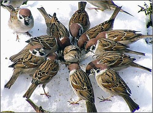 Um grupo de pardais montês na neve comendo sementes