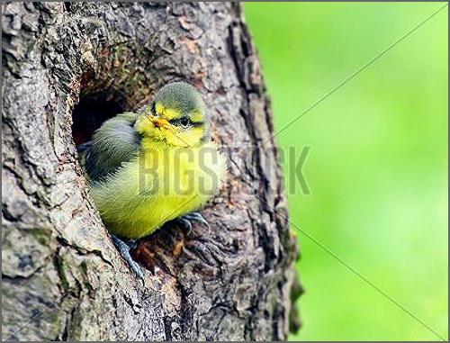 Mejengra numa toca de árvore