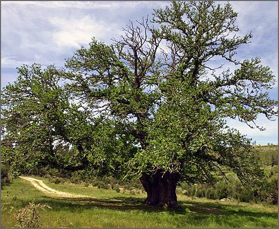Castanheiro de Guilhafonso - são precisas 9 pessoas para abraçar o seu tronco