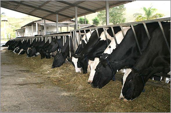 Vacas leiteiras - Capeia Arraiana