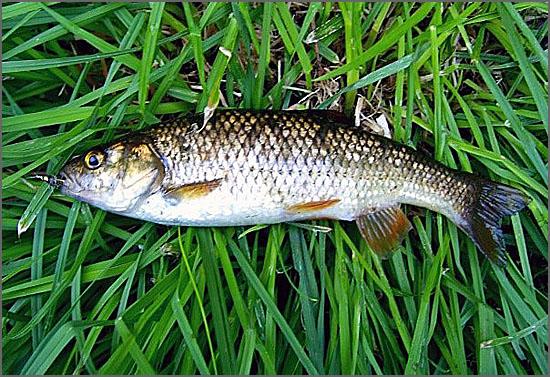 Uma boga pescada no rio