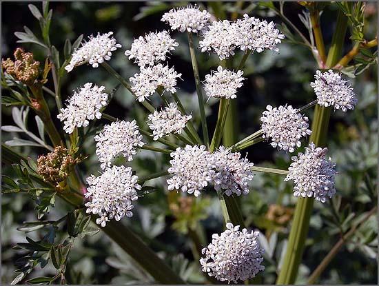 Flor do Budle (Embude) – Planta com raízes tóxicas