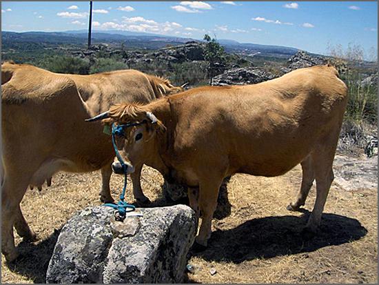 As vacas jarmelistas