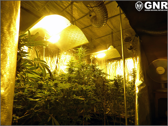 As plantas de cannabis apreendidas