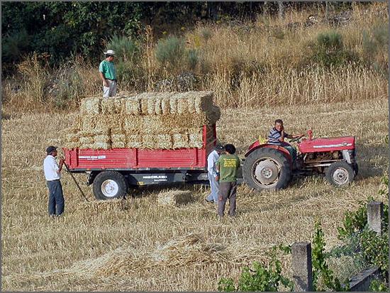 Trabalho agrícola (foto Julmar)
