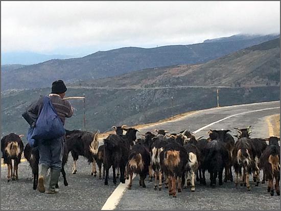 É difícil manter as cabras na linha
