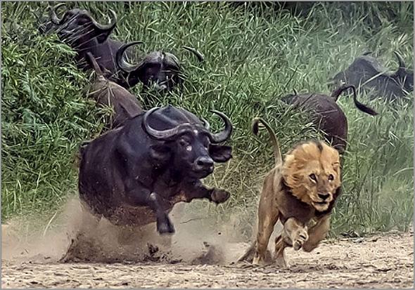 Fábula do velho leão ameaçado - Ramiro Matos - Capeia Arraiana