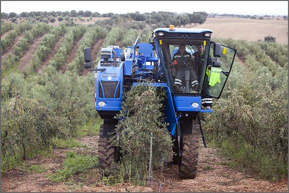 Os olivais intensivos recorrem a maquinaria para apanha da azeitona