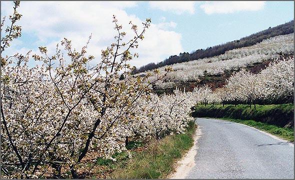 Cerejeiras em flor - um espectáculo deslumbrante e mágico
