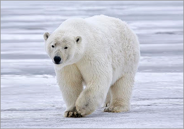 Urso Polar - Capeia Arraiana