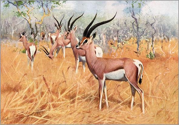 A gazela é da família do antílope (pintura) - capeiaarraiana.pt