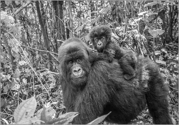 Gorilas de Angola - Incrível - Em família, como os humanos - capeiaarraiana.pt