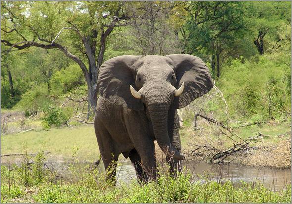Espécime autóctone: elefante do Maiombe - Capeia Arraiana