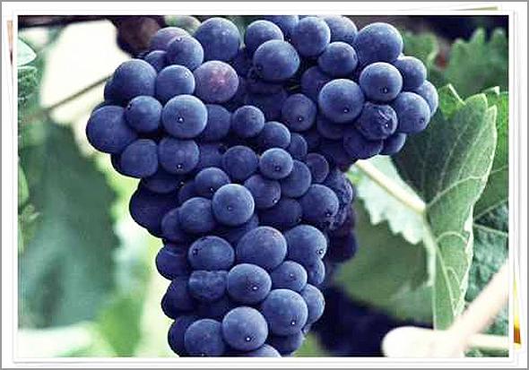 Gatcho – cacho de uvas