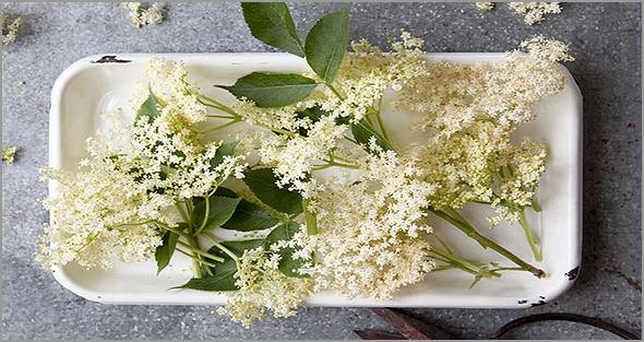 Flor de sabugueiro tem qualidades medicinais