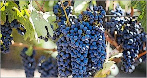 Na nossa zona, este ano há mais 40% de uvas do que no ano passado