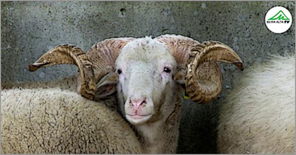Trancoso: exposição de gado na Feira de Santa Luzia (ontem...)