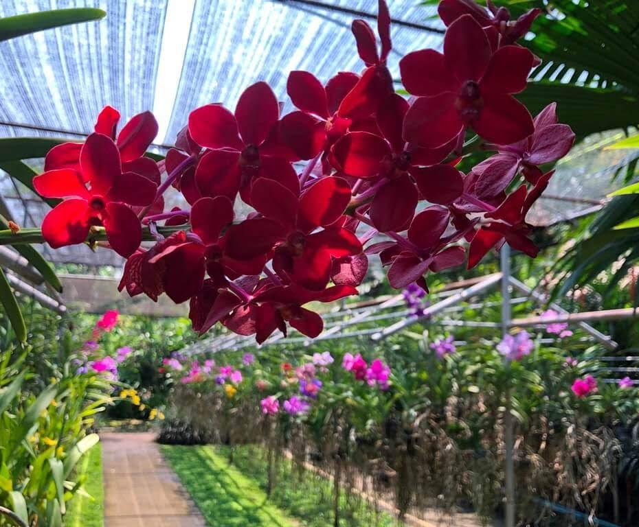 Jardins de Orquídeas na Tailândia