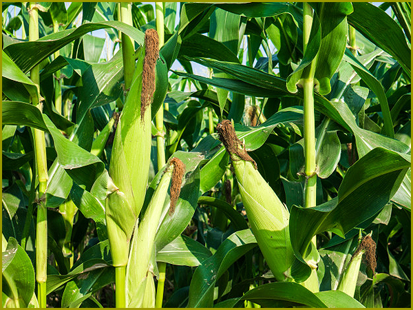 Maçarocas de milho verde - capeiaarraiana.pt