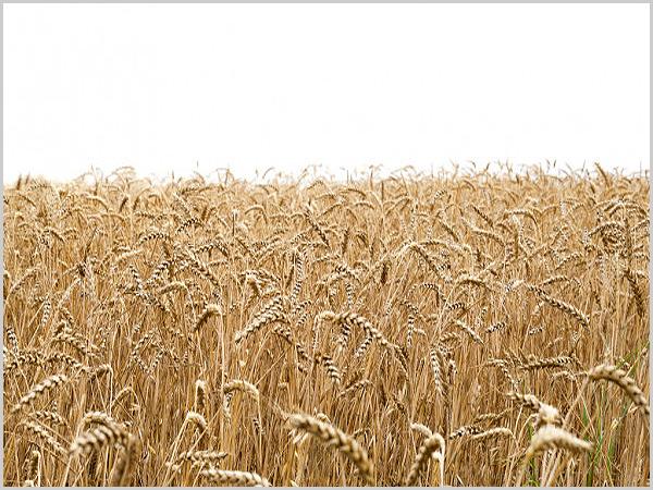 Seara de trigo