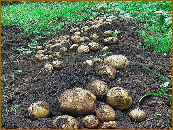 Batatas acabadas de sair da terra
